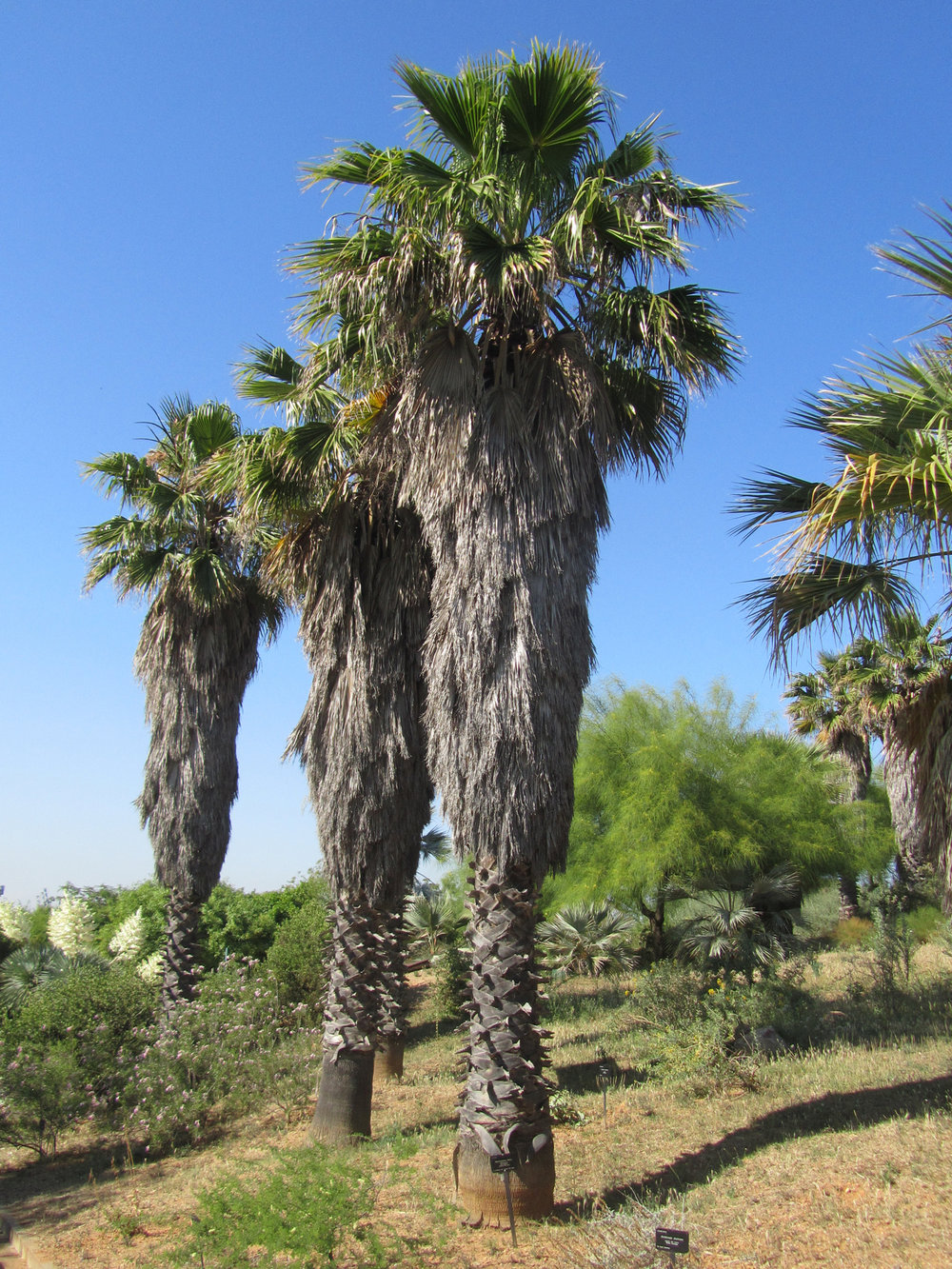 - Washingtonia filiferaDesert Fan Palm