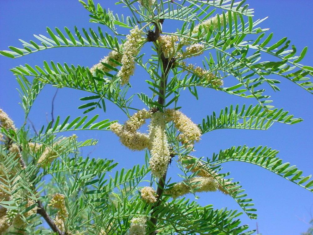 - prosopis glandulosaHoney Mesquite