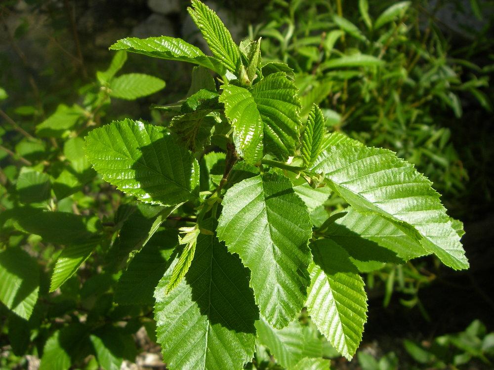 - alnus oblongifoliaarizona alder