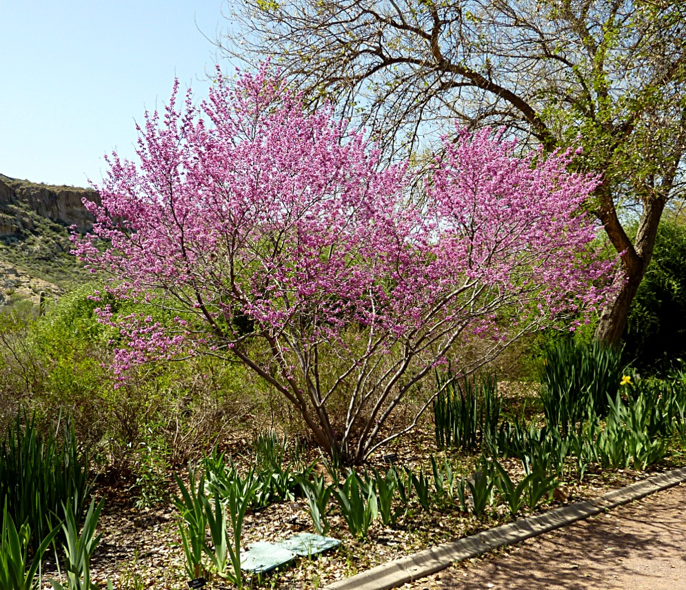 - CERCIS CANADENSIS VAR. MEXICANAmexican redbud