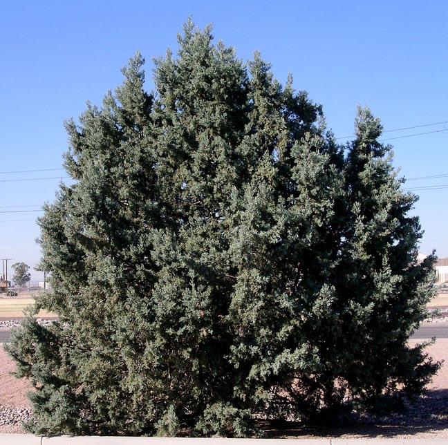 - cupressus arizonicaarizona cypress
