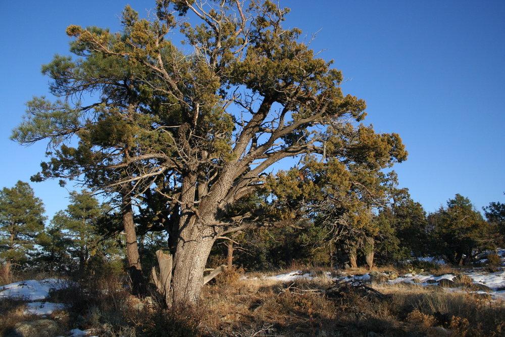 - juniperus deppeanaaligator juniper