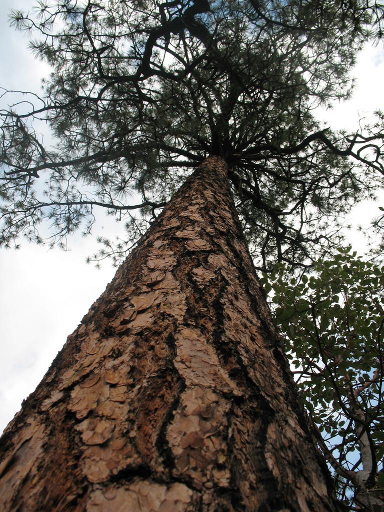 - pinus arizonicaarizona pine