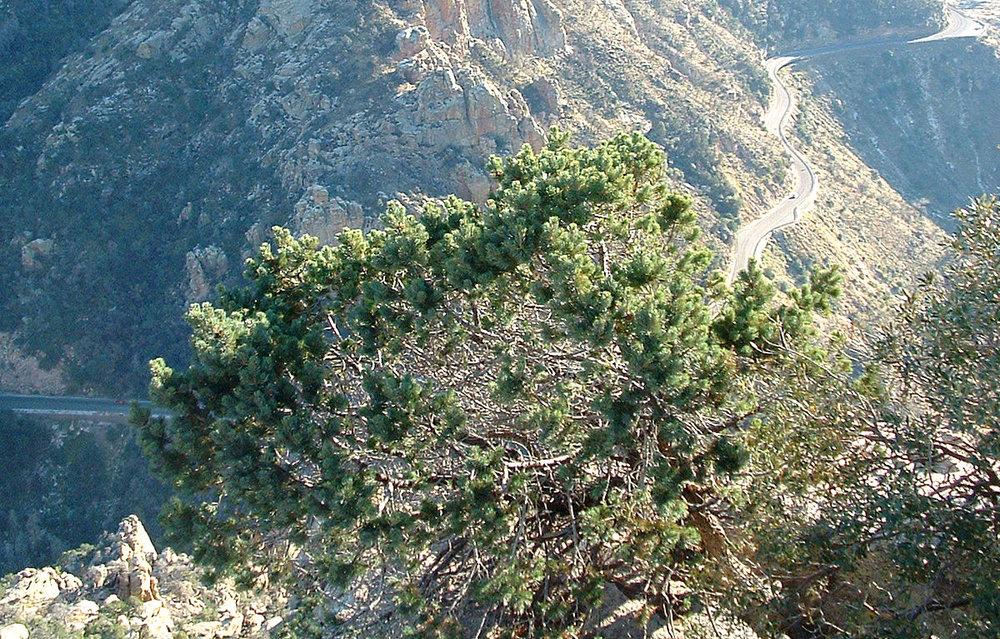 - Pinus cembroidesborder PIÑON