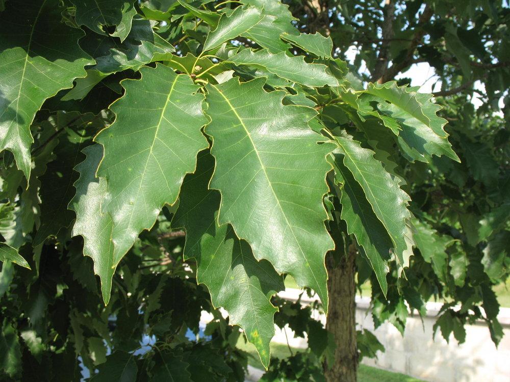 - Quercus muehlenbergiiChinkapin Oak