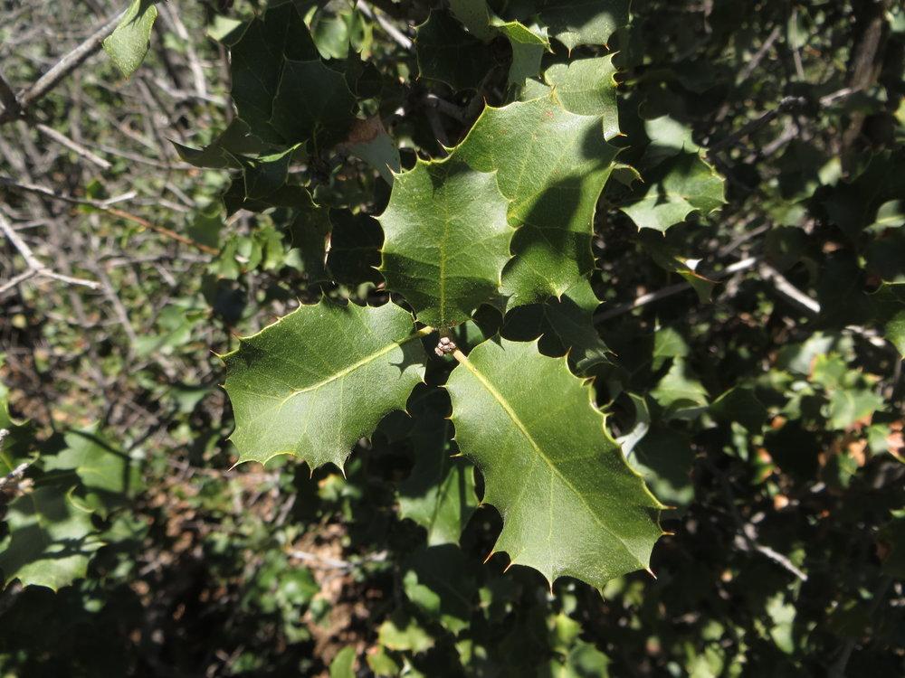 - quercus palmeriDunn's Oak