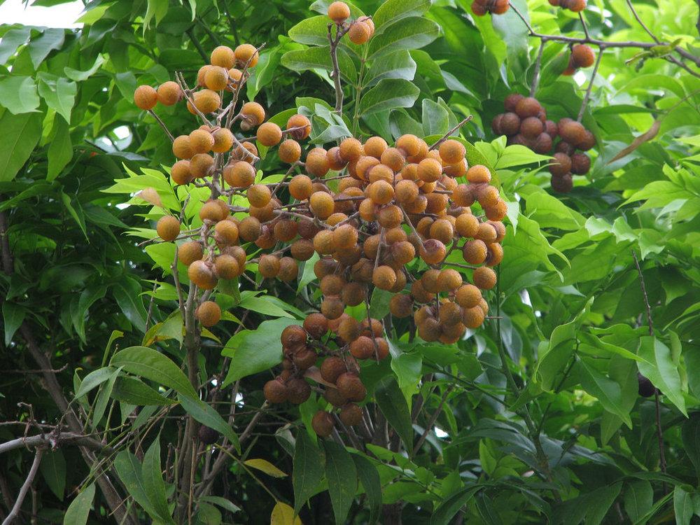 - sapindus saponariasoapberry