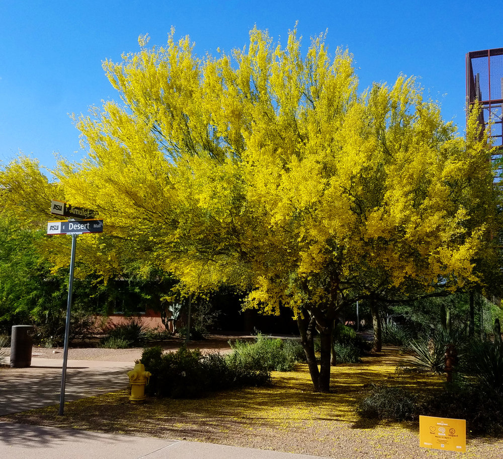 Blue Palo Verde : formally known as Cercidium floridum, now Parkinsonia florida
