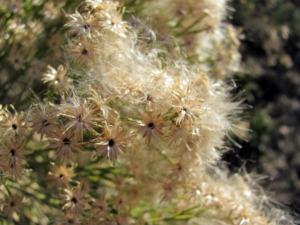 The fluff from desert broom may be annoying to humans, but many birds use it to make nests.