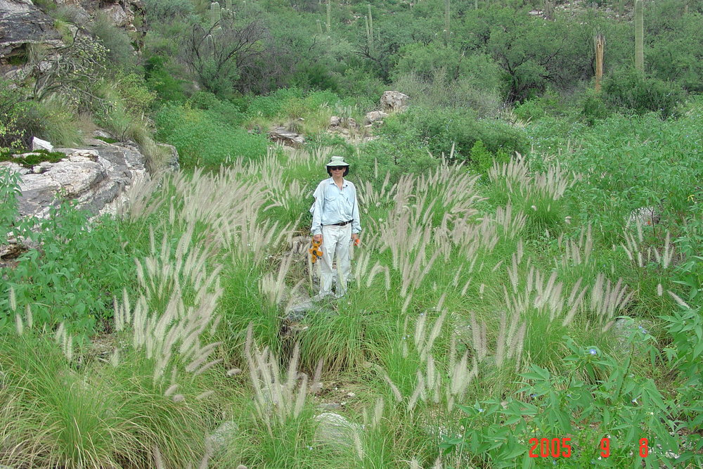 A picture from the National Park Service, exhibiting the problematic nature of fountain grass