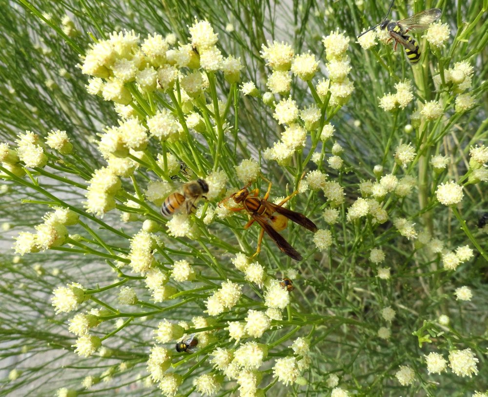A great host of insects use desert broom as a source of nectar.