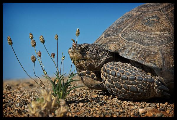 desert-tortoise-extinct-2-24-14-thumb-600x405-69262.jpg