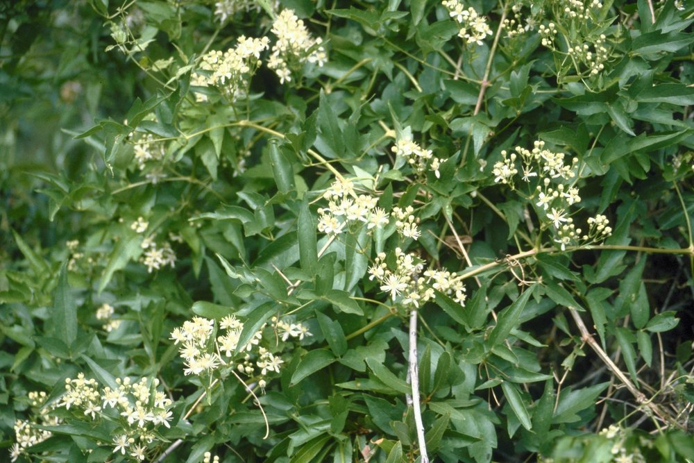 - Clematis ligusticifoliawestern white bower