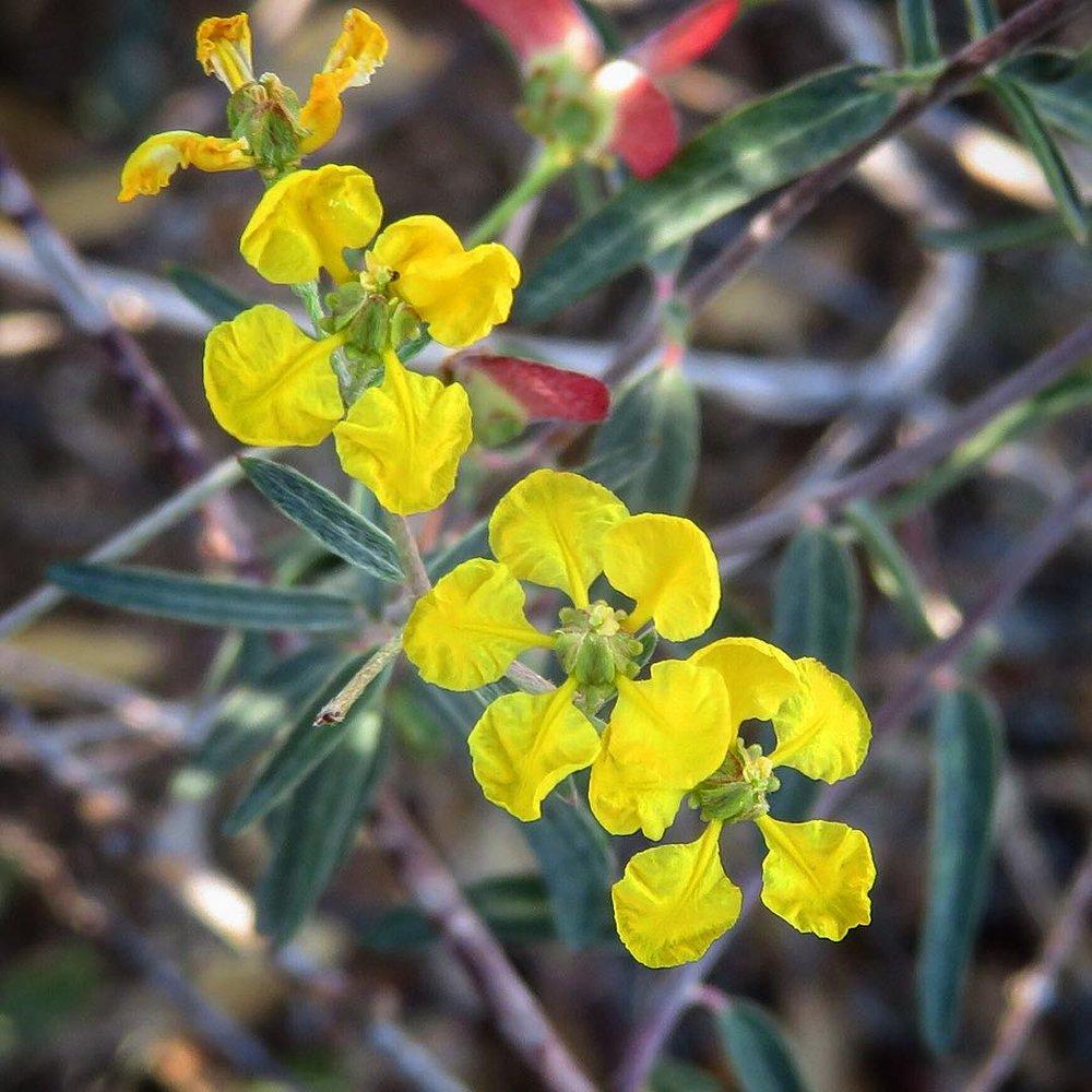 - Cottsia gracilisfermina