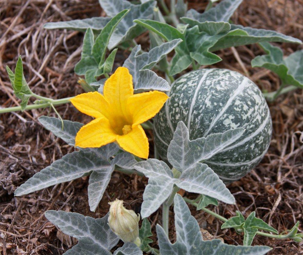 - Cucurbita palmataCoyote gourd