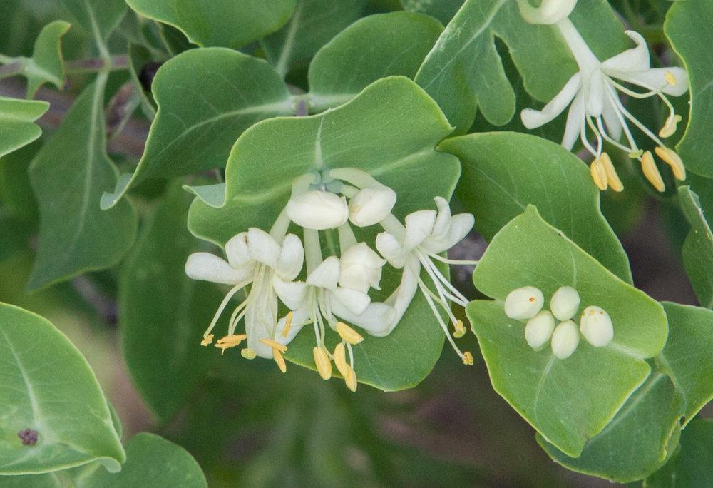 - Lonicera albiflorawhite honeysuckle