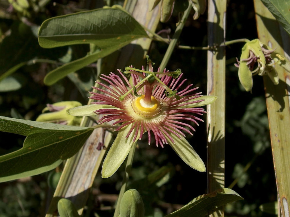 - Passiflora mexicanamexican passionflower