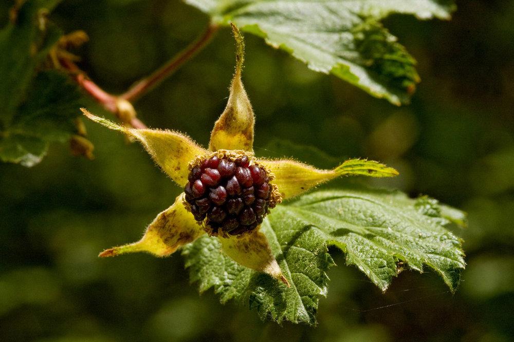- Rubus neomexicanusNew Mexico raspberry