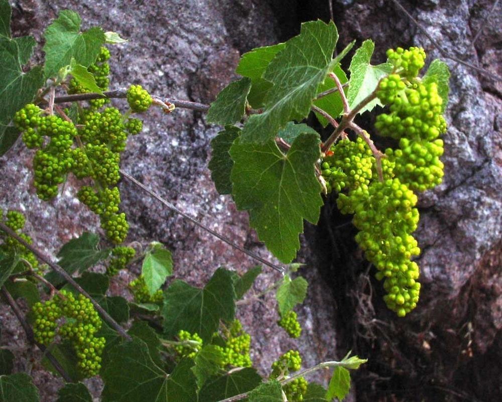 - Vitis arizonicacanyon grape