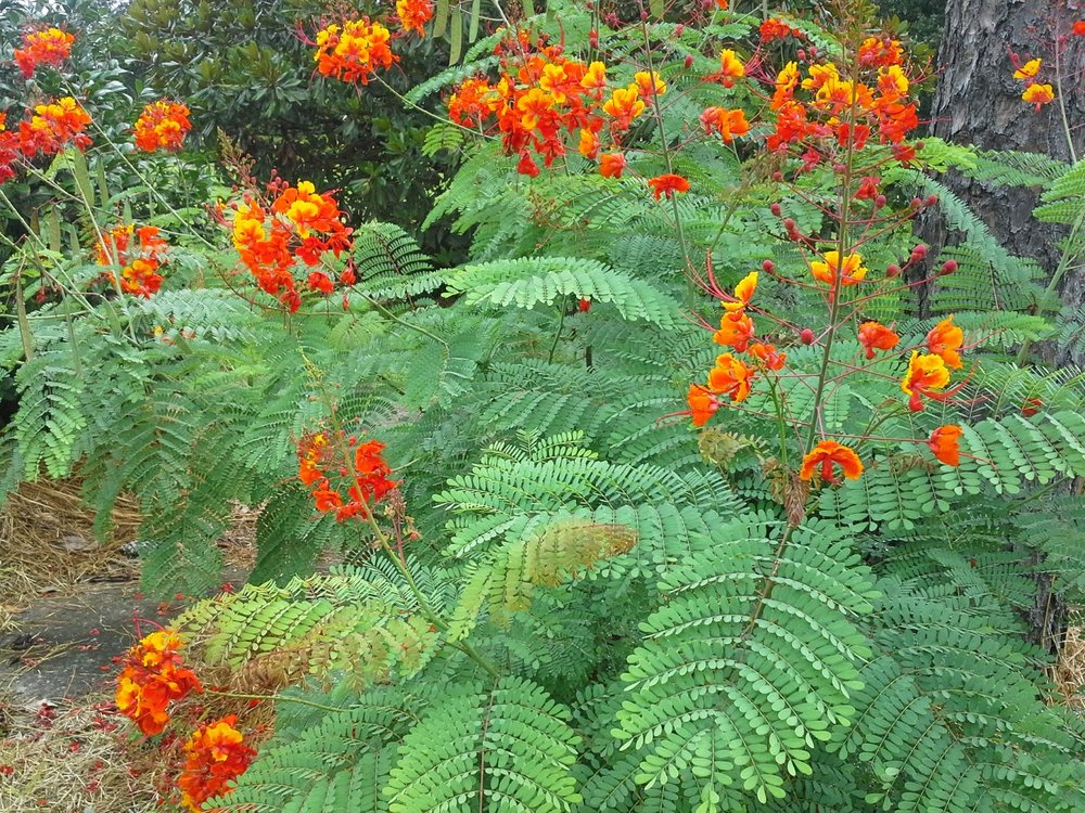 Red Bird of paradise(Caesalpinia pulcherrima) - Adult nectar plant.