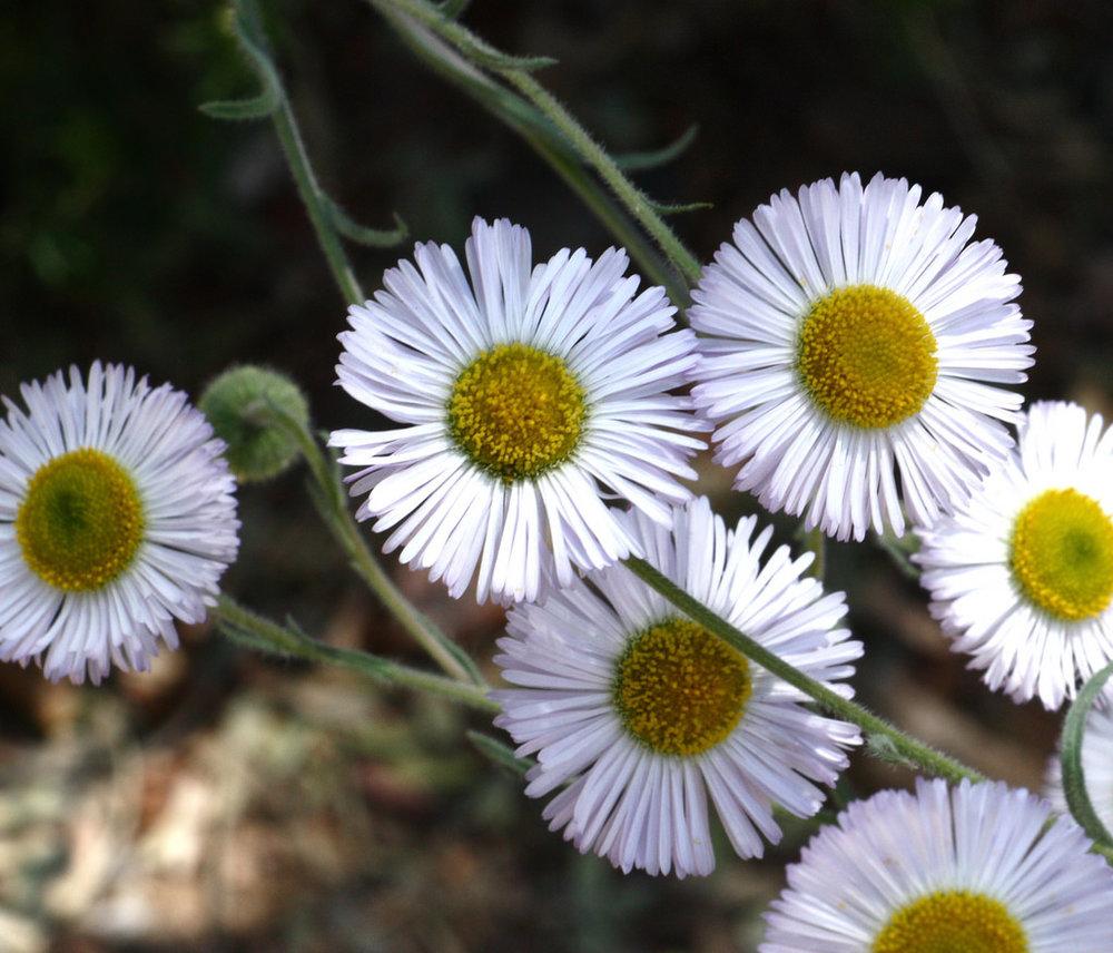Fleabane(Erigeron species) - Several species. Excellent nectar plant.