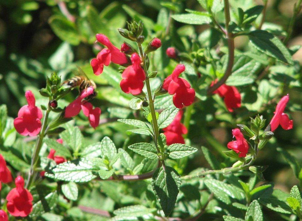 Salvia(Salvia species) - Salvia lemmonii pictured. Great nectar plants. Double as good hummingbird plants.