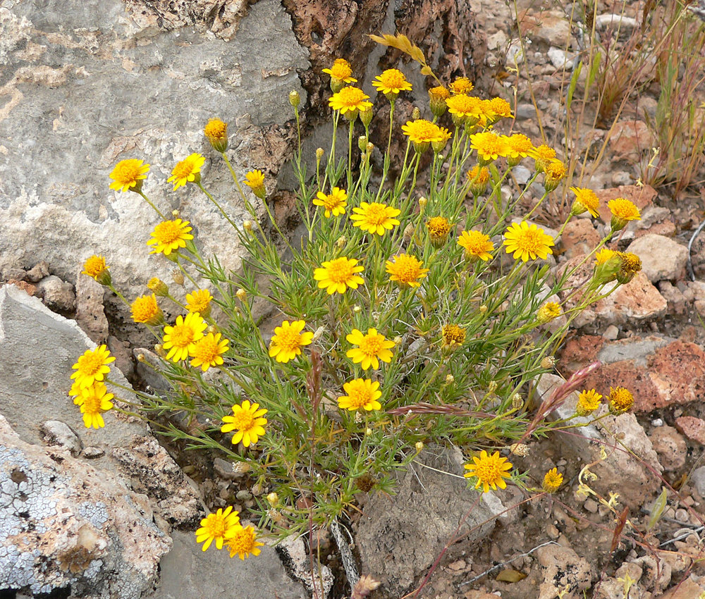 dogweed(Thymophylla pentachaeta) - Excellent nectar plant.