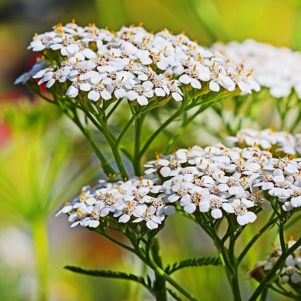 yarrow(achillea millefolia) - Nectar plant. Larval food plant for the Painted Lady (Vanessa cardui).