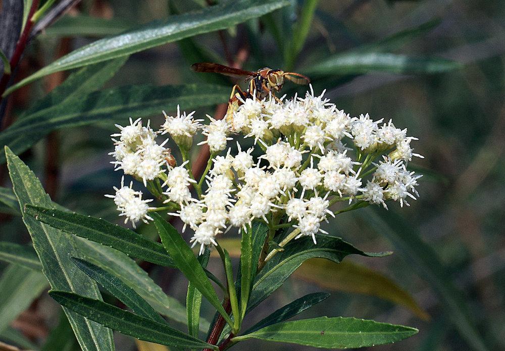 seepwillow(Baccharis salicifolia) - Excellent nectar plant. Larval food plant for the Fatal Metalmark (Calephelis nemesis) and the Elada Checkerspot (Texola elada).