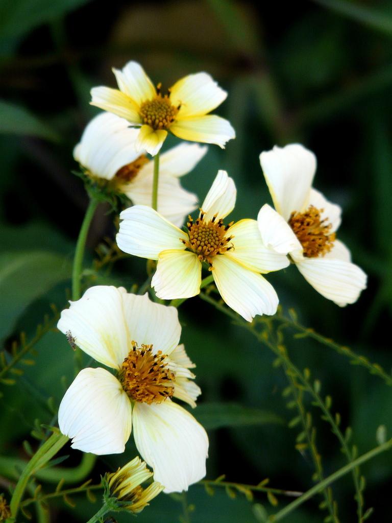 Arizona Beggarticks (Bidens aurea) - Excellent nectar plant. Larval food plant for the Arizona Metalmark (Calephelis arizonensis) and the Dainty Sulfur (Nathalis iole).