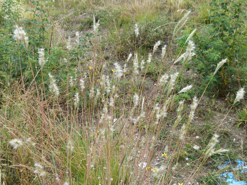 cane beardgrass(Bothriochloa barbinodis) - Larval food plant for the Slaty Roadside Skipper (Amblyscirtes nereus).