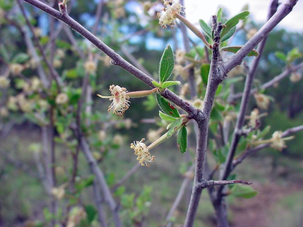 Desert Mountain Mahogany(Cercocarpus breviflorus) - Excellent nectar plant. Larval food plant for the Gray Hairstreak (Strymon melinus).