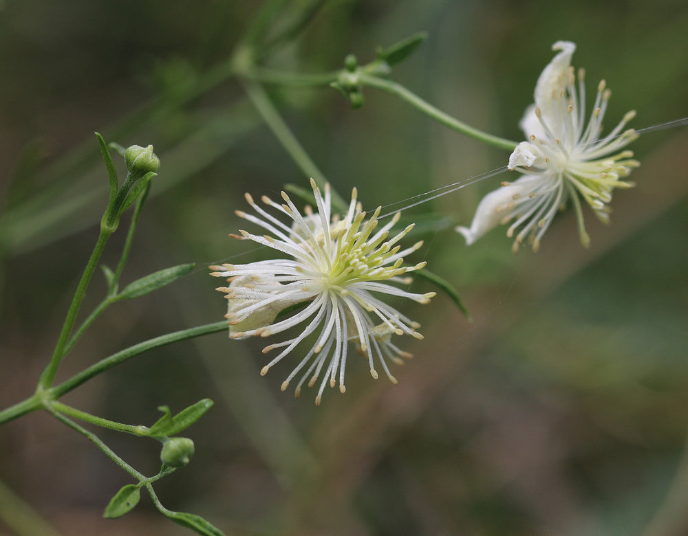 clematis(clematis species) - Nectar plant. Larval food plant for the Fatal Metalmark (Calephelis nemesis ).