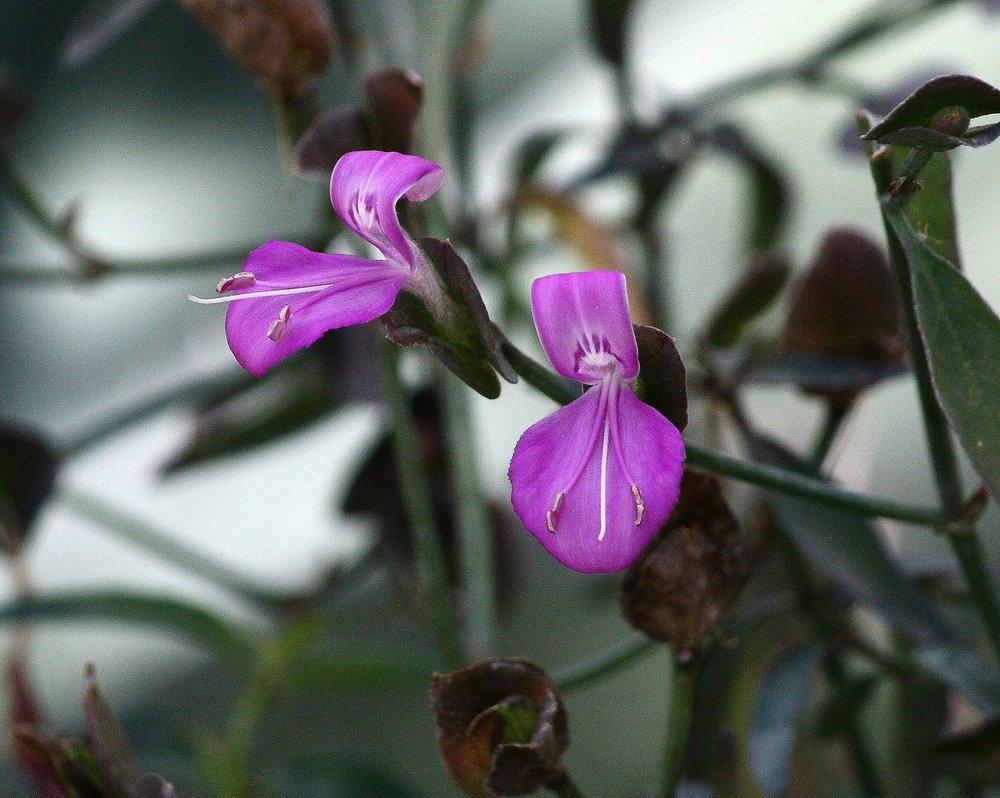 arizona foldwing(Dicliptera resupinata) - Nectar plant. Larval food plant for the Texas Crescent (Anthanassa texana).