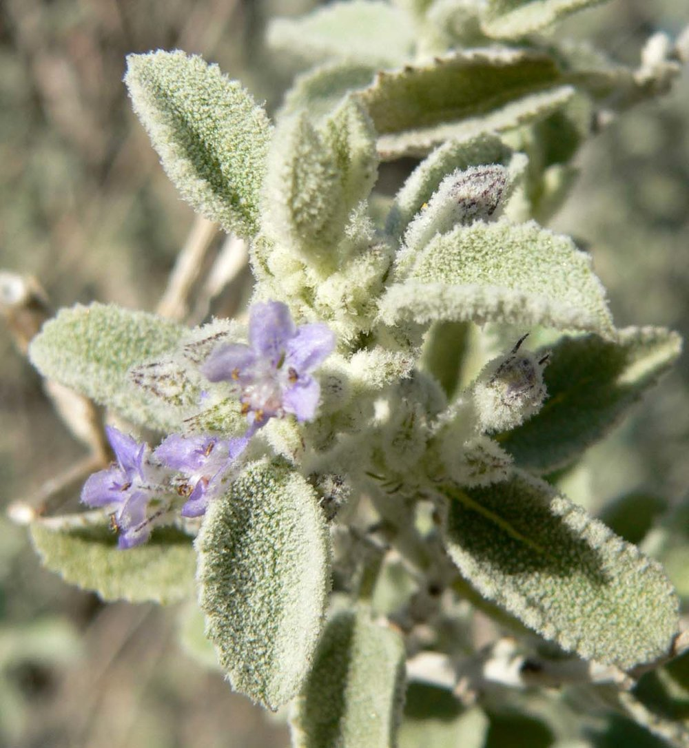 Desert lavender(Hyptis emoryi) - Now known as Condea emoryi. Excellent nectar plant. Larval food plant for the Gray Hairstreak (Strymon melinus).