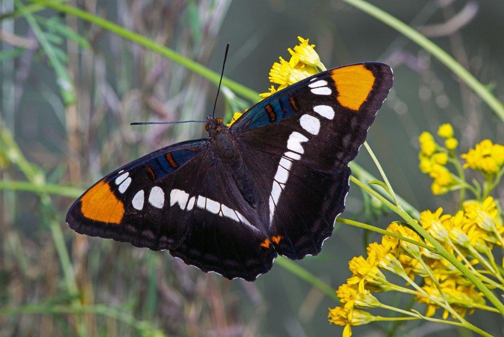 Arizona Sister Butterfly (Adelpha eulalia)