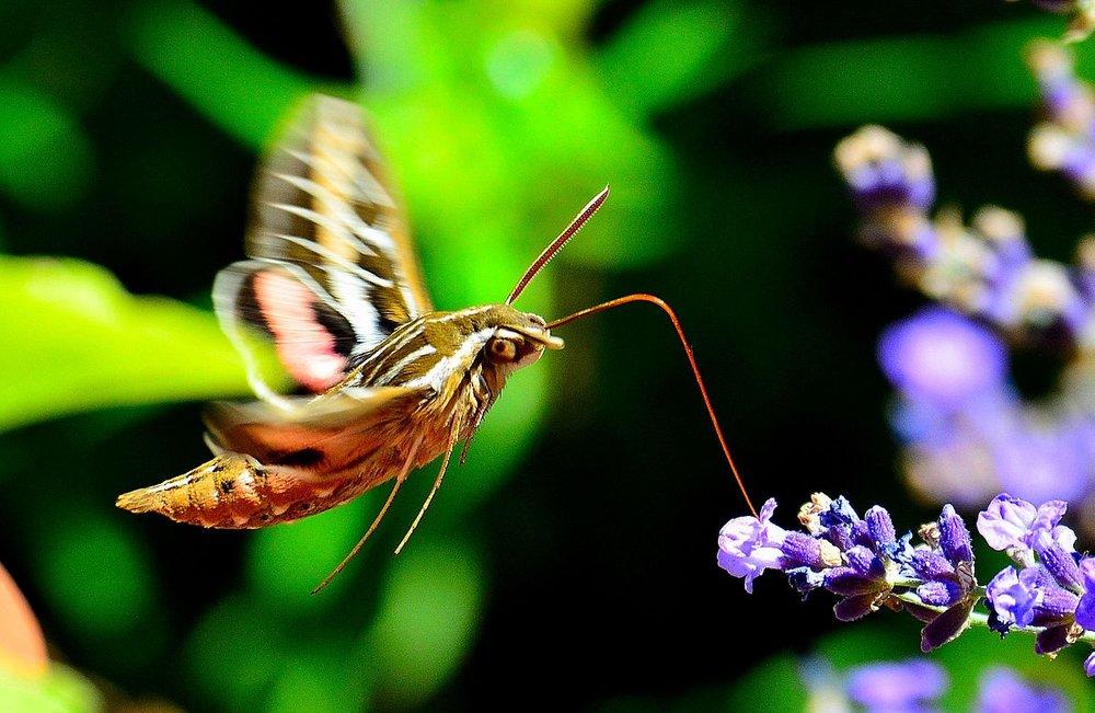 1200px-Hummingbird_Moth_%289687769149%29.jpg