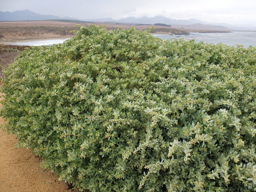 A massive shrub, topping out at 8 feet tall, 12 feet wide. Hardy to the teens °F. - Atriplex LentiformisQuailbush