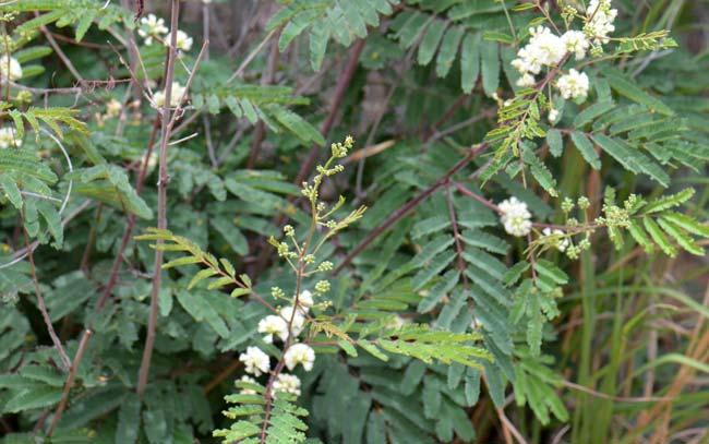 Acacia-angustissima650x407.jpg