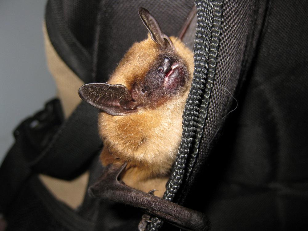 Big Brown Bat - Eptesicus fuscus