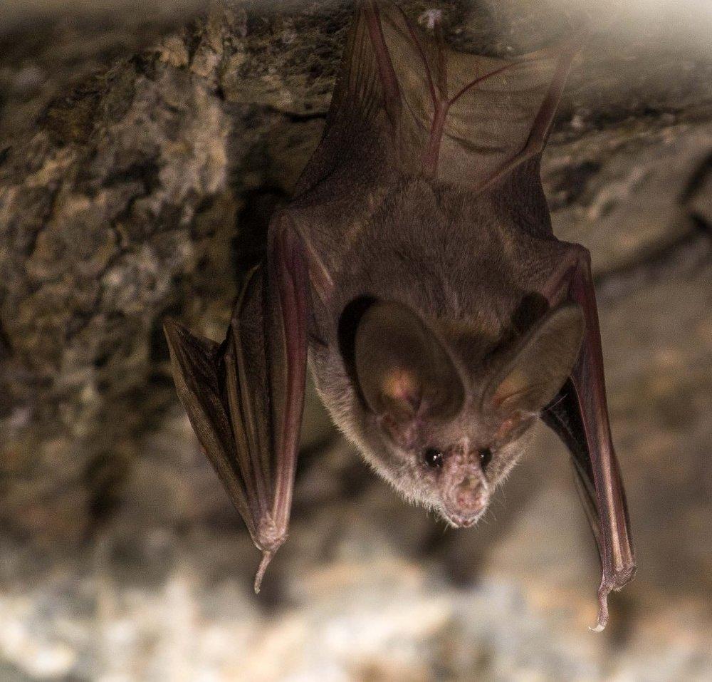 California leaf-nosed bat - Macrotus californicus