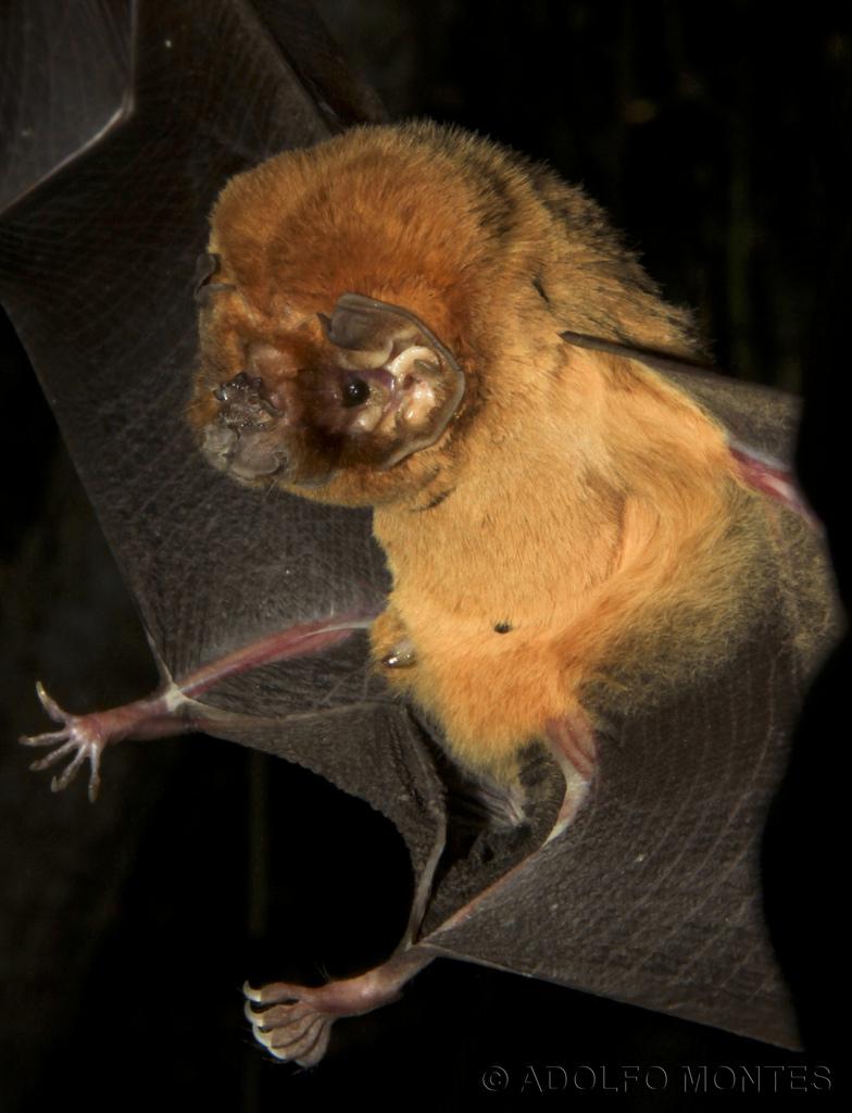 Peter's Ghost-Faced Bat - Mormoops meglaophylla