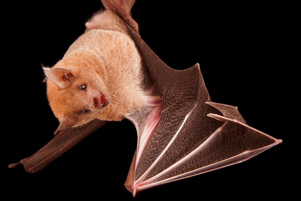 Lesser long-nosed bats - Leptonycteris curasoae