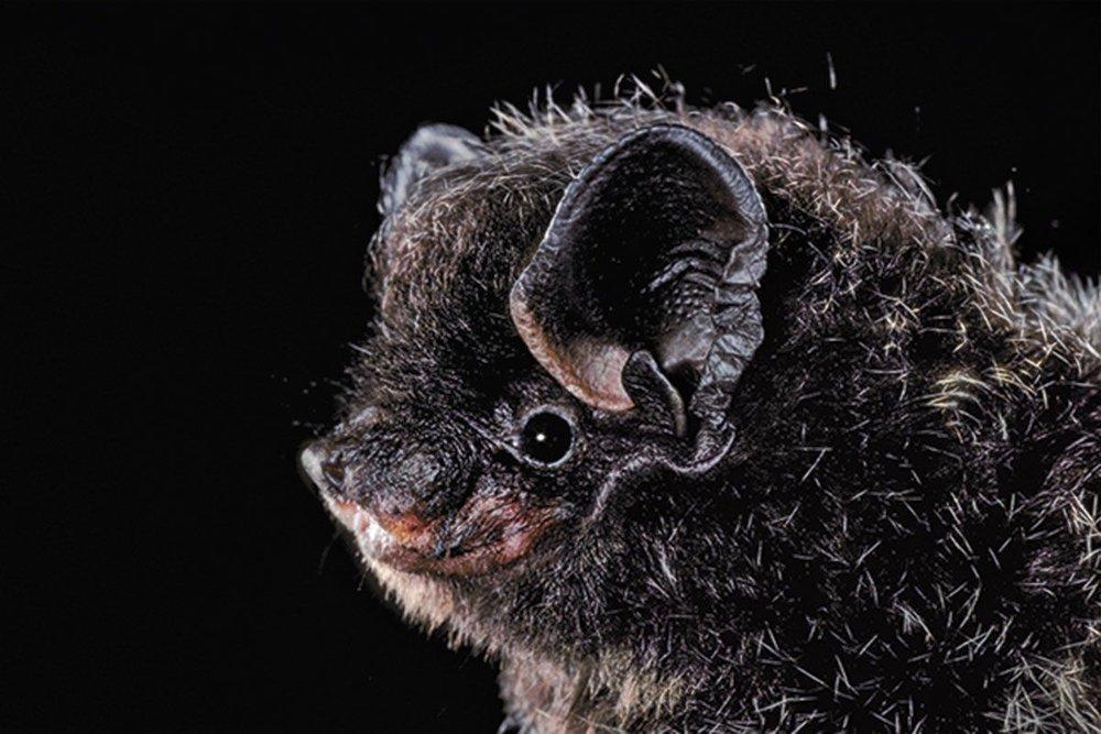 silvered-haired bat - Lasionycteris noctivagans
