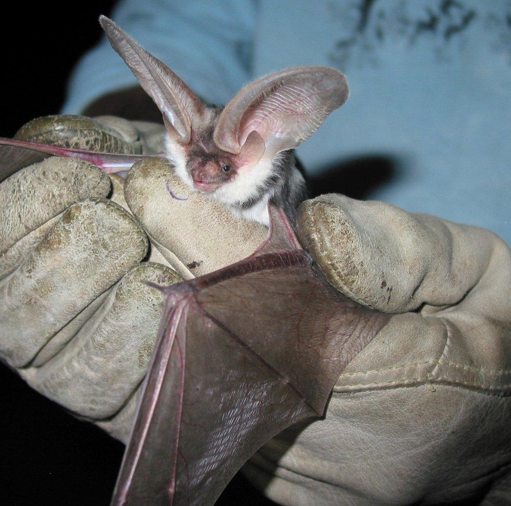 spotted bat - Euderma maculatum