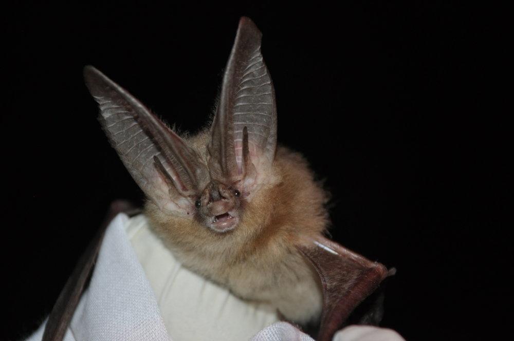 Townsend's big-eared bat - Corynorhinus townsendii