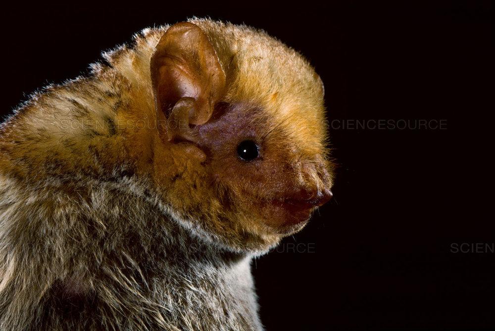western red bat - Lasirurs blossevillii