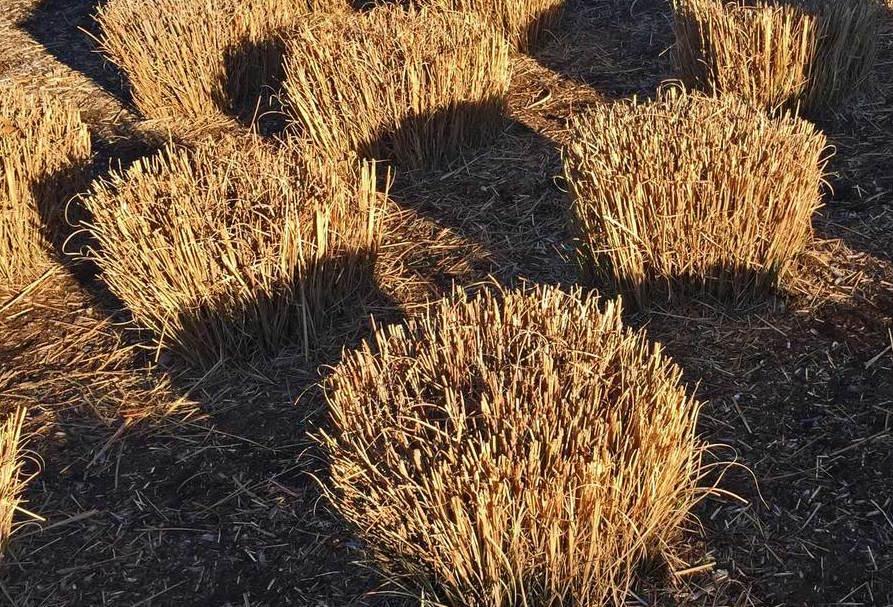 ornamental+grasses+cut+back+in+early+february.jpeg