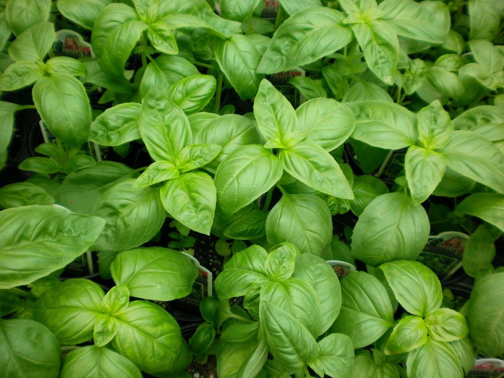 Ocimum basilicum - Genovese Basil