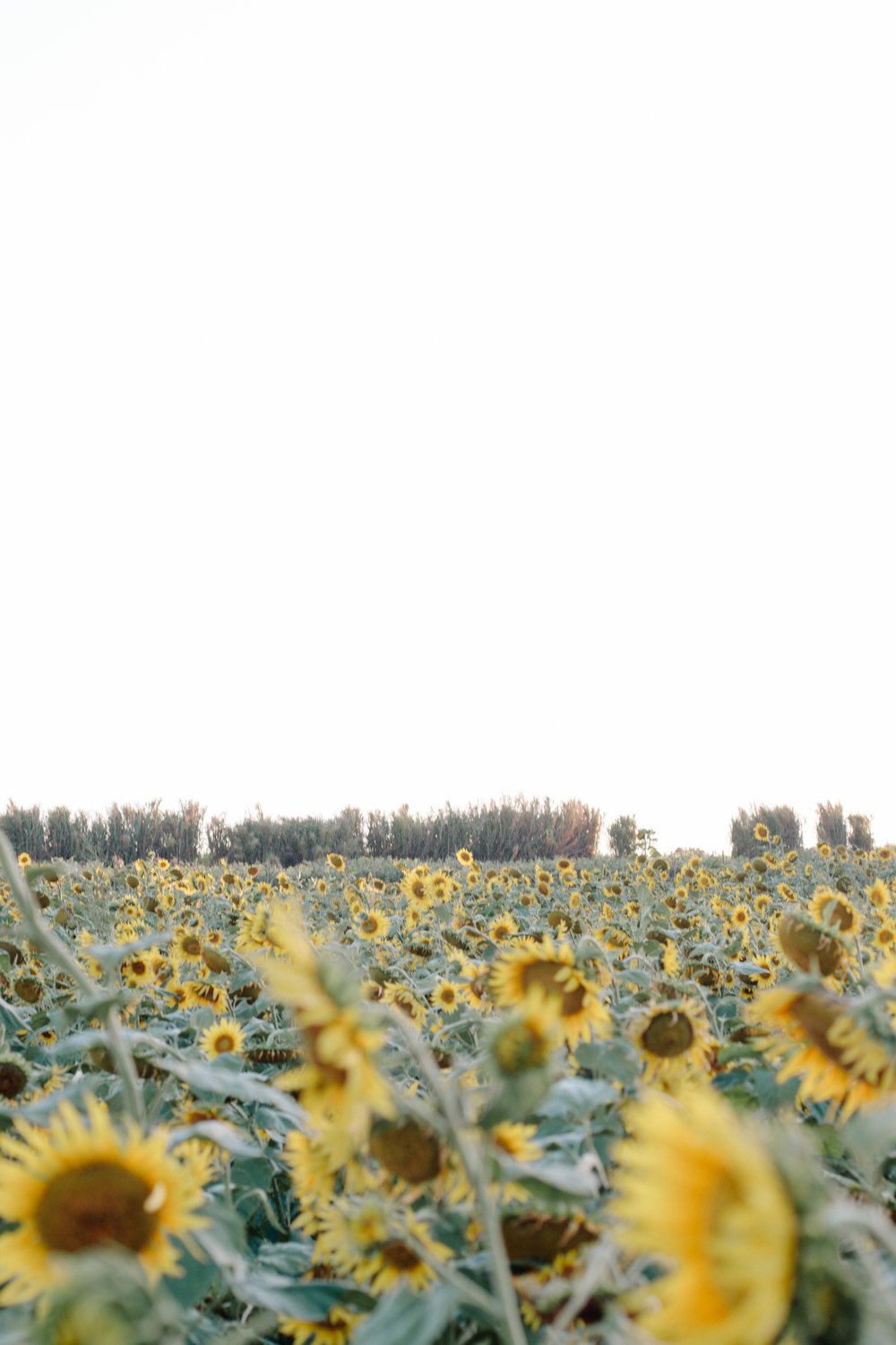 Sunflower Fields Kingscliff